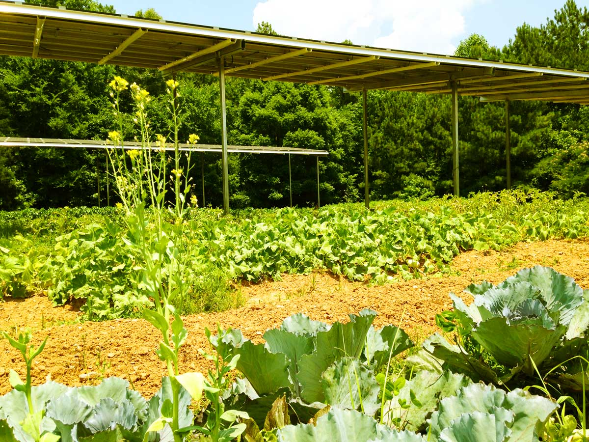 ... , where shade-tolerant crops are grown beneath giant solar panels