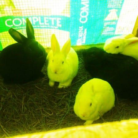 Fatty Owl Farm rabbits in their cozy house.