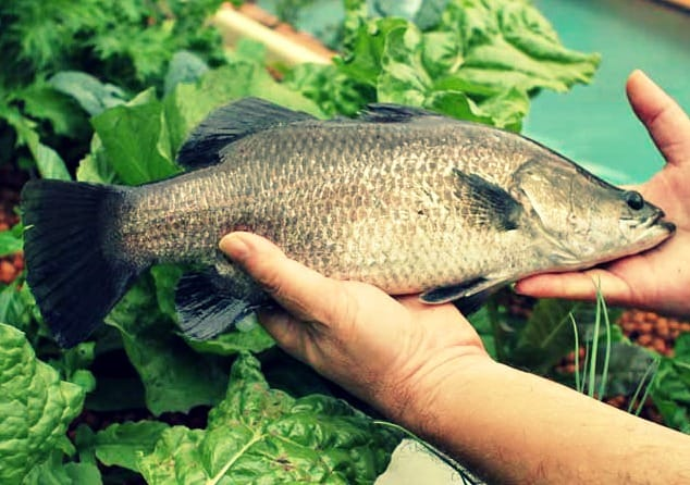 Can Aquaponics Help Fix Our Broken Food Chain?