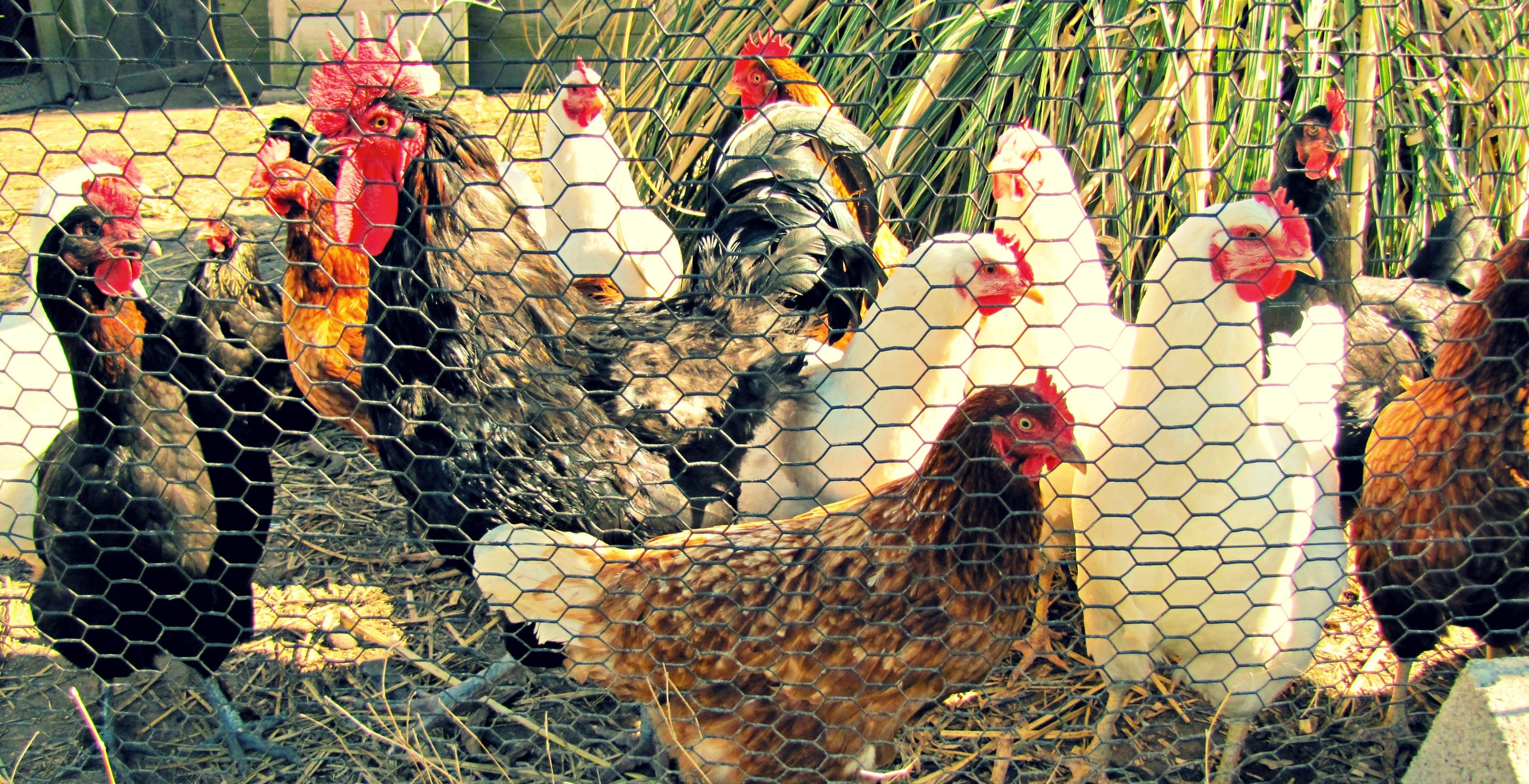 backyard chickens are happy chickens u2013 abundance nc