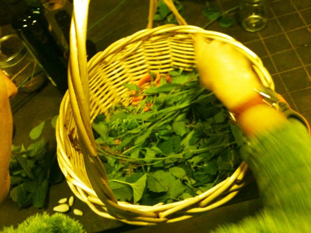 Selecting herbs for making pesto.