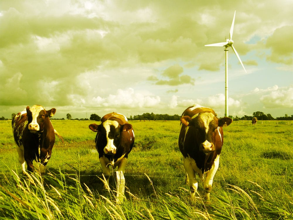 cows-wind