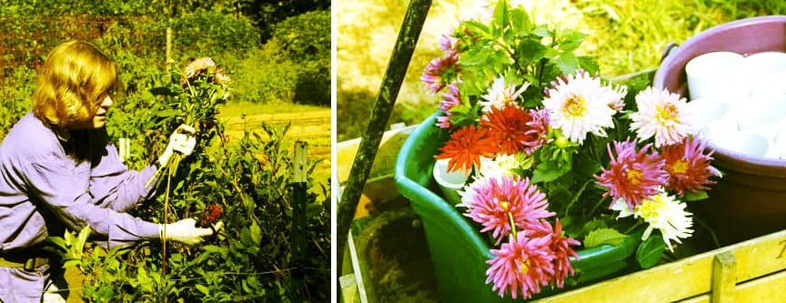 The dahlia harvest at Harland's Creek Farm. Photo by Debbie Roos, courtesy of Growing Small Farms.